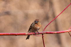 North the linnet Stock Photography