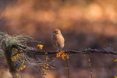 North the linnet Stock Images