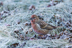 North the linnet Stock Photo