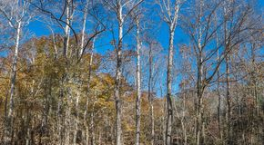 North Mississippi Panoramic Woodland Forest Landscape. Close up of a woodland forest in autumn against a blue sky background stock photography