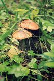 North mushrooms. In the grass. Russia, Ural royalty free stock photo