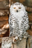 North owl. White northern owl with bright yellow eyes Stock Photo