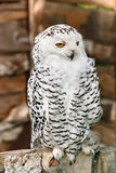North owl. White northern owl with bright yellow eyes Royalty Free Stock Photography