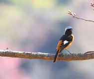 North redstart on the tree Royalty Free Stock Images