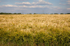 North Rhine-Westphalia, grain field, barley field Stock Image