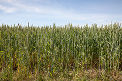 North Rhine-Westphalia, grain field, barley field Royalty Free Stock Photography