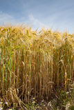 North Rhine-Westphalia, grain field, barley field Royalty Free Stock Image
