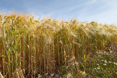North Rhine-Westphalia, grain field, barley field Royalty Free Stock Photo