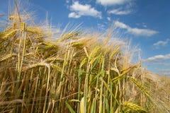 North Rhine-Westphalia, grain field, barley field, spik. Germany, North Rhine-Westphalia, grain field, barley field, spikes stock images