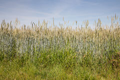 North Rhine-Westphalia, grain field, rye field Stock Photography