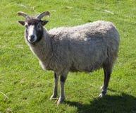 North Ronaldsay Sheep Royalty Free Stock Images
