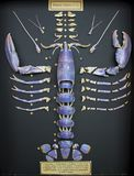 North sea lobster shell segmented and displayed royalty free stock photos
