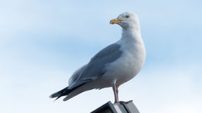 North sea Seagull Stock Image
