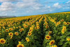 North Shore Sunflowers Royalty Free Stock Images