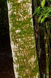 North side of the tree. Look at the moss growing on the north side of a palm tree in the thicket of the swamp lands in south Florida tropics royalty free stock image