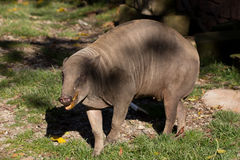 North Sulawesi babirusa Royalty Free Stock Image