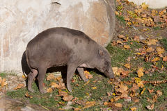 North Sulawesi babirusa Royalty Free Stock Photos