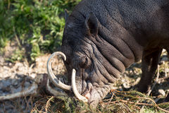 North Sulawesi babirusa Stock Photography