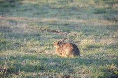 North Texas Eastern Cottontail Rabbit Sylvilagus floridanus. Hailing from the family Leporidae, the primary rabbit in North Texas is the eastern cottontail Stock Photos