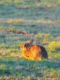 North Texas Eastern Cottontail Rabbit Sylvilagus floridanus. Hailing from the family Leporidae, the primary rabbit in North Texas is the eastern cottontail Royalty Free Stock Photography
