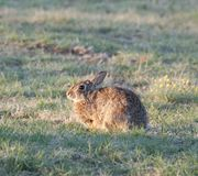 North Texas Eastern Cottontail Rabbit Sylvilagus floridanus. Hailing from the family Leporidae, the primary rabbit in North Texas is the eastern cottontail Stock Photography