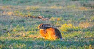 North Texas Eastern Cottontail Rabbit Sylvilagus floridanus. Hailing from the family Leporidae, the primary rabbit in North Texas is the eastern cottontail Royalty Free Stock Image