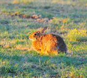 North Texas Eastern Cottontail Rabbit Sylvilagus floridanus. Hailing from the family Leporidae, the primary rabbit in North Texas is the eastern cottontail Stock Photo