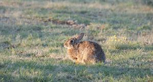North Texas Eastern Cottontail Rabbit Sylvilagus floridanus. Hailing from the family Leporidae, the primary rabbit in North Texas is the eastern cottontail Royalty Free Stock Photo
