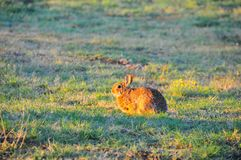 North Texas Eastern Cottontail Rabbit Sylvilagus floridanus. Hailing from the family Leporidae, the primary rabbit in North Texas is the eastern cottontail Stock Images