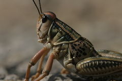 North Texas Grasshopper royalty free stock images