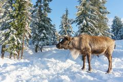 North Vancouver Canada - December 30, 2017: Reindeer in a winter landscape at Grouse Mountain. North Vancouver Canada - December 30, 2017: Reindeer in a winter Royalty Free Stock Photography