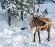 North Vancouver Canada - December 30, 2017: Reindeer in a winter landscape at Grouse Mountain. North Vancouver Canada - December 30, 2017: Reindeer in a winter royalty free stock image