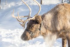North Vancouver Canada - December 30, 2017: Reindeer in a winter landscape at Grouse Mountain. North Vancouver Canada - December 30, 2017: Reindeer in a winter stock photo