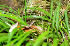 North vietnamese skink. Skink from forest in North Vietnam stock photography