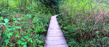 North West Hiking Trail through forest, Panoramic Royalty Free Stock Photography