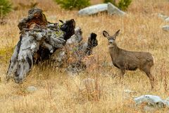 North West White Tailed Deer Odocoileus virginianus in the wil. Derness in Cariboo Regional District, British Columbia, Canada Stock Photography