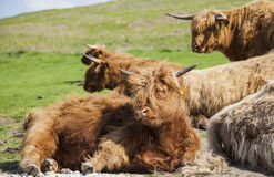 North York Moors. Grazing Highland cattle in North York Moors National Park Stock Images