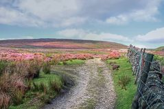 North Yorkshire Moors. A pathway through the north yorkshire moors, showing the purple heather and a traditional dry stone wall north of Bolton Abbey, North Stock Photography