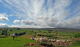 North Yorkshire Shepard and sheep Flock Stock Photo