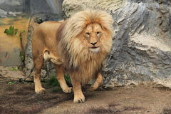 Northeast Congo lion Royalty Free Stock Images