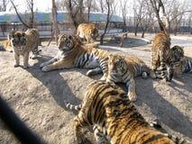 Northeast Tiger Royalty Free Stock Photo