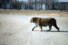 Northeast Tiger Stock Image