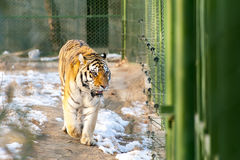 Northeast tiger in iron cage. Northeast tiger walking in an iron cage,because the number of rare, northeast tiger under the key protection stock image