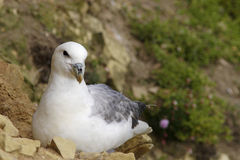 Northen Fulmar Royalty Free Stock Photography