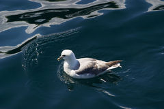 Northen Fulmar Stock Photo