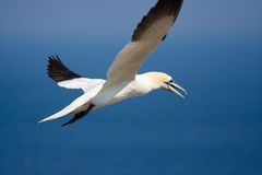 Northen Gannet. A Northern Gannet fishing of the coast of Bonaventure Island, Quebec, Canada Royalty Free Stock Images