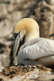 Northen gannet sitting on its nest Stock Photo