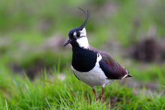 Northen Lapwing in a meadow Royalty Free Stock Image