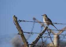 Northen Mockingbird Stock Image
