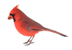 Norther Cardinal, Cardinalis cardinalis Royalty Free Stock Photo
